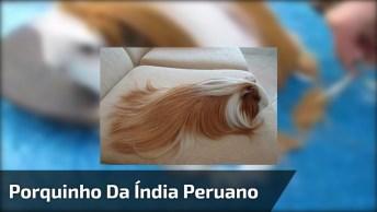 Porquinho Da Índia Peruano Cortando As Pontas Dos 'Cabelos'!