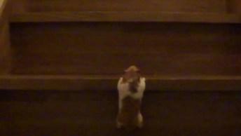Porquinho Da Índia Subindo Escada, Olha Só Que Carinha Esforçado!