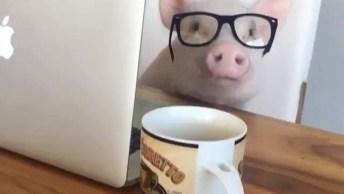 Porquinho Mais Intelectual Que Você Já Viu, Olha Só Esta Carinha Com Óculos!