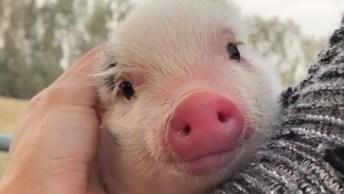 Porquinho Recebendo Carinho, Olha Só Que Carina Mais Bonitinha!