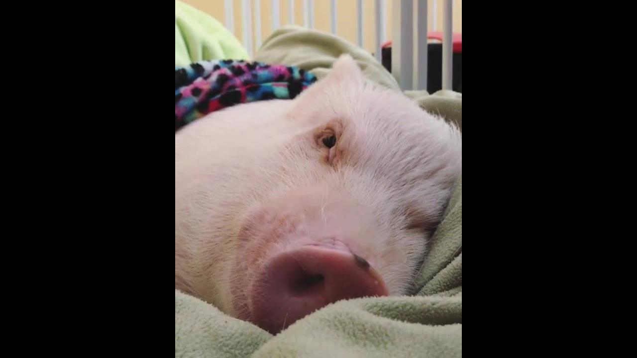 Porquinho tirando uma soneca