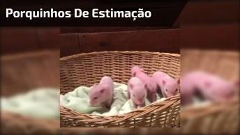 Porquinhos De Estimação, Que Tal Aderir A Esta Nova Onde De Animais De Estimação