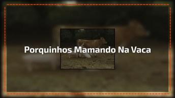 Porquinhos Mamando Na Vaca, Mundo Animal Sempre Nos Surpreendendo!
