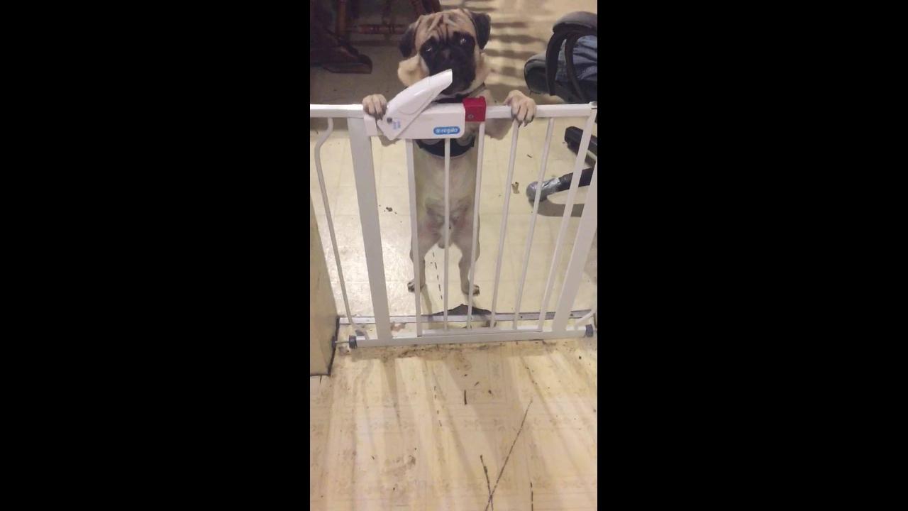Pug abre portãozinho para poder fugir