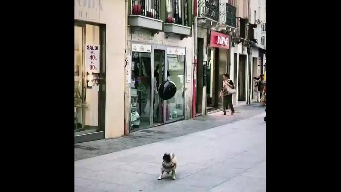 Pug brincando com balão, olha só a alegria deste amiguinho