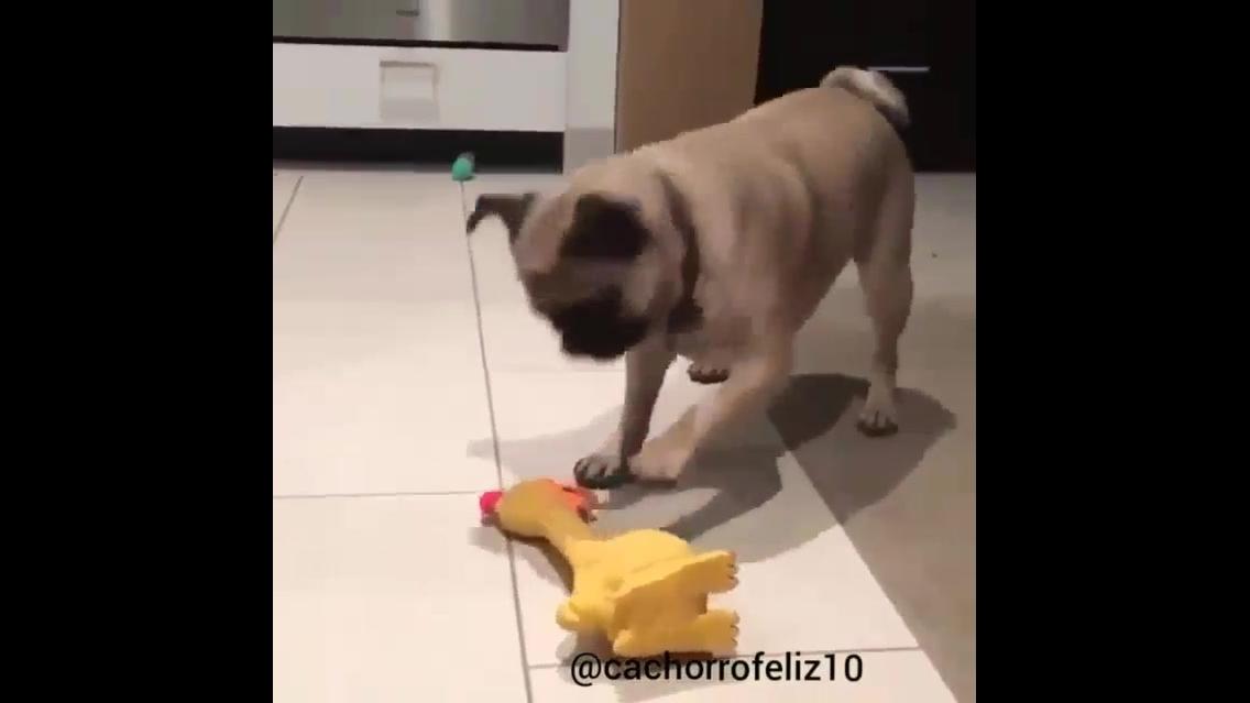 Pug intrigado com galo de brinquedo