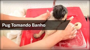Pug Tomando Banho, Olha Só Como Eles Gosta! Muito Fofinho!