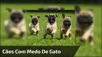 Pugs Com Medo De Gatinho, Olha Só Que Braveza, Kkk! O Gatinho Bota Moral, Kkk!
