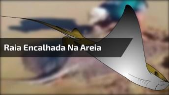Raia Encalhada Na Areia É Salva Por Homem, Veja O Tamanho Do Animal!