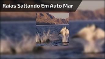 Raias Saltando Em Auto Mar, Estas Imagens São Fantásticas!
