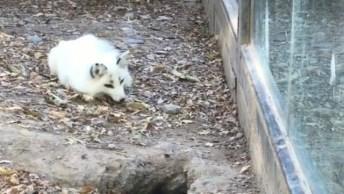 Raposa Branca Cavando Para Fugir De Lugar, A Reação Da Outra É Muito Engraçada!