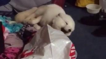 Raposa Branca Dando Risada Com Seu Dono, Olha Só Que Fofinha!