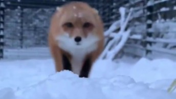 Raposa Correndo Na Neve, Uma Imagem Inédita Para Compartilhar!