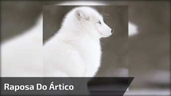 Raposa Do Ártico Apreciando A Neve Cair, Veja Que Animal Mais Lindo!