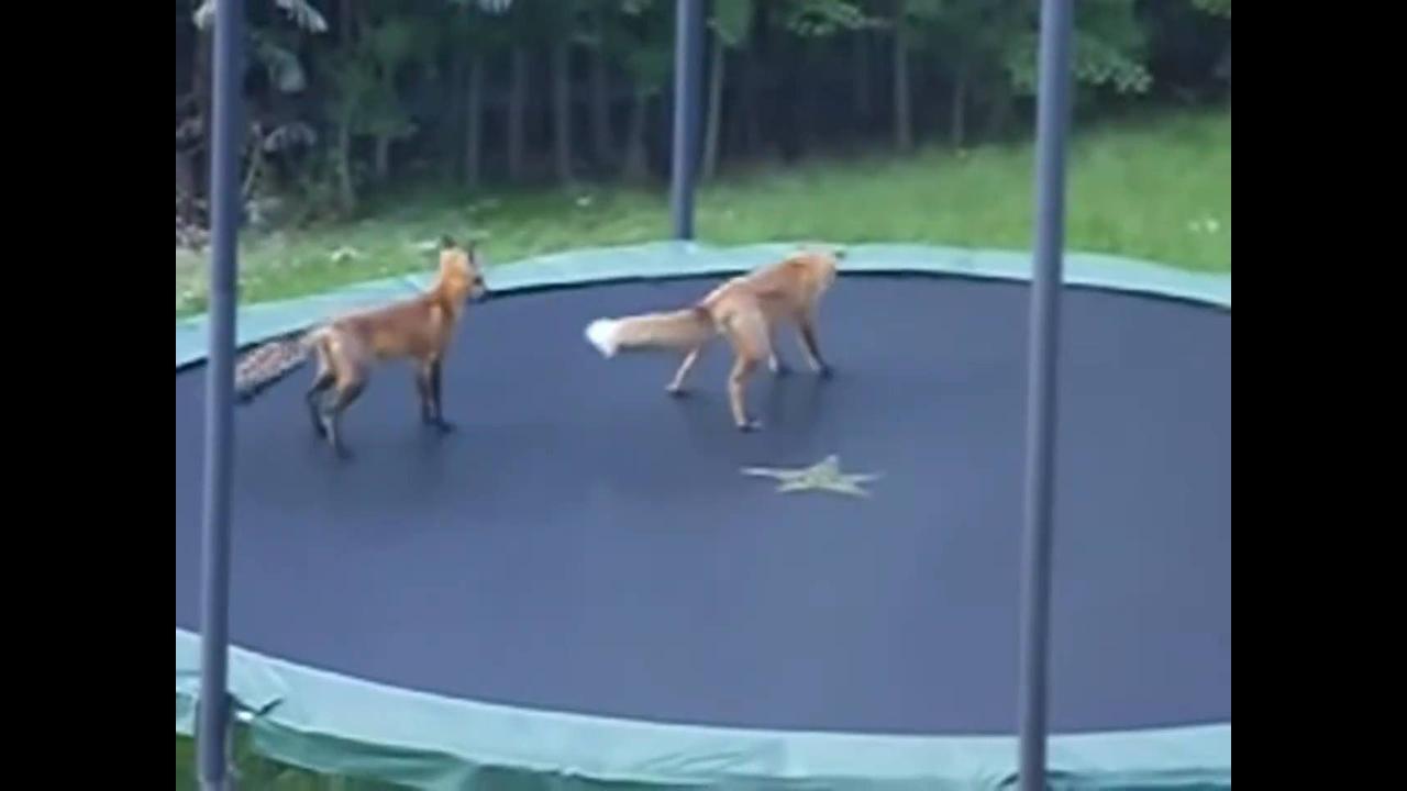 Raposas brincando em cama elástica