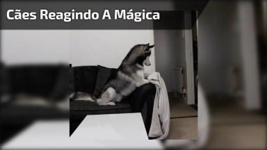 Reações De Cães Com Mágica De Desaparecimento, Como Eles São Engraçadinhos!