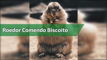 Roedor Comendo Biscoito, Escute Esse Barulhinho, Que Fofura!