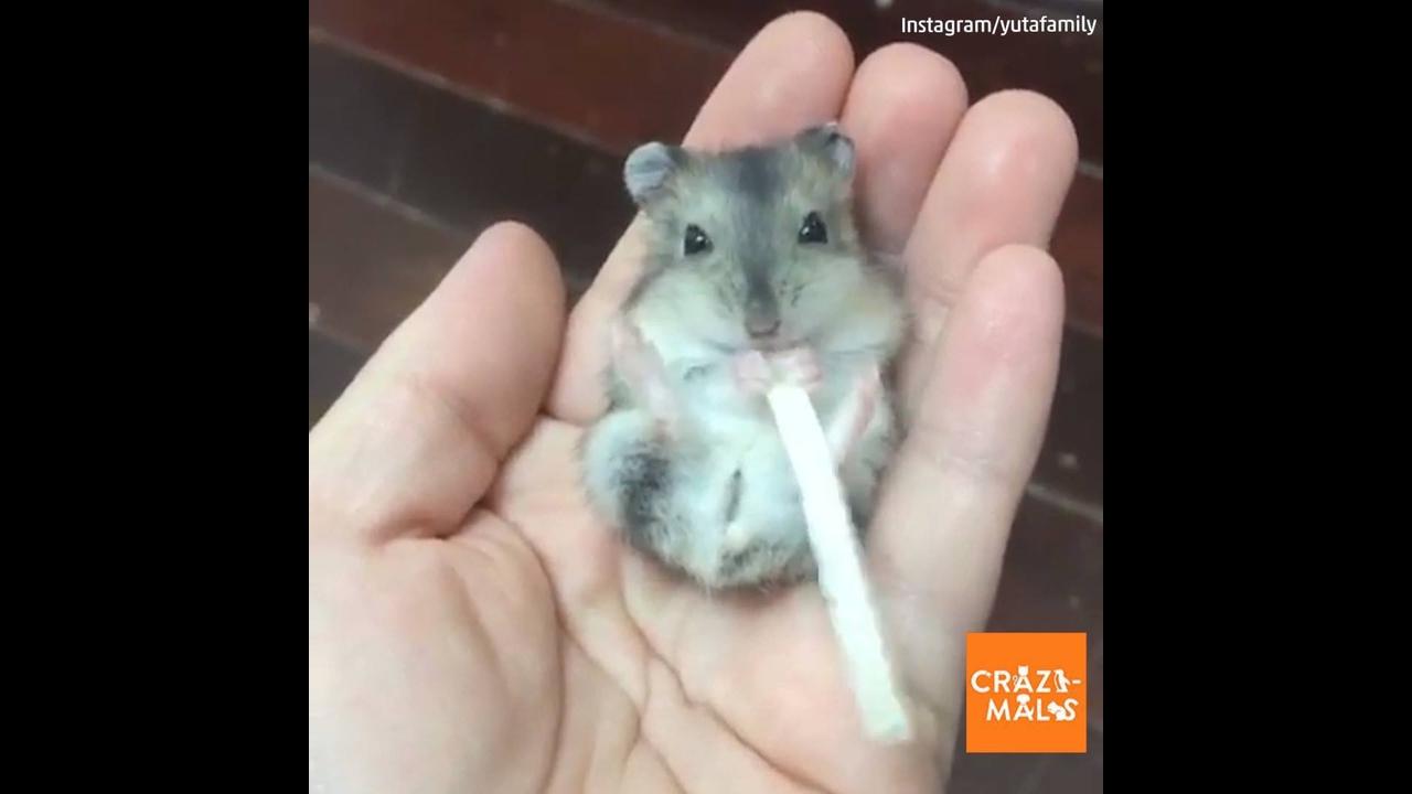 Roedor comendo, ele é tão pequeno que cabe na palma da mão