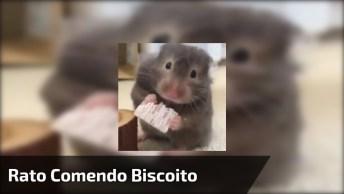 Roedor Comendo Um Biscoito, Ele É Muito Fofinho, Confira!