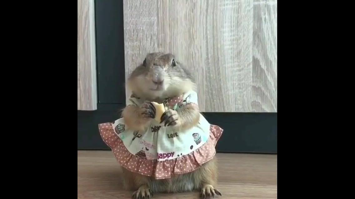Roedora com vestidinho comendo seu biscoito