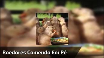 Roedores Comendo Em Pé, As Carinhas Deles São Todas Iguais!