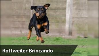 Rottweiler Brincando Com Um Botijão De Gás, Como Este Animal É Forte!