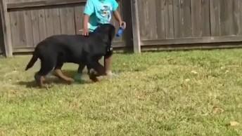 Rottweiler - De Filhote A Cão Adulto, É Muito Amor Envolvido!