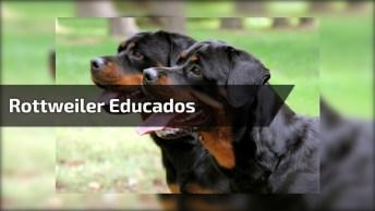 Rottweiler Mais Educados Que Você Já Viu, Olha Só Que Lindos!