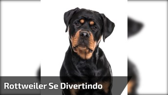 Rottweiler Se Divertindo Em Cama Elástica, Olha Só A Felicidade Deste Amigão!