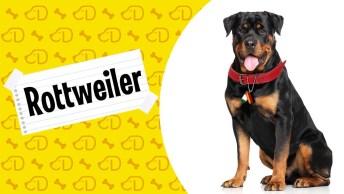 Rottweiler Um Cachorro Mal Interpretado, Que Possui Um Enorme Coração!