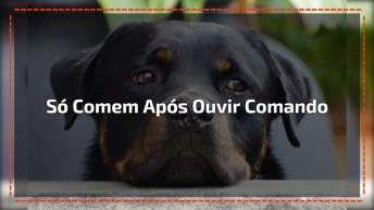 Rottweilers Só Comem Após Ouvir Comando, Veja Que Impressionante!