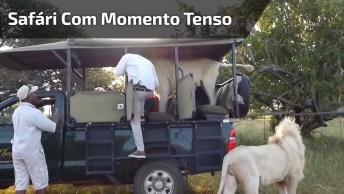 Safári Com Momentos Tensos, Esta Leoa Entrou Dentro Do Carro!