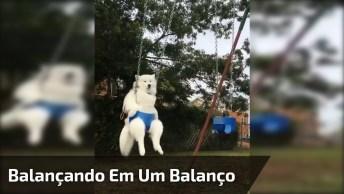 Samoieda Balançando Tranquilamente Em Um Balanço, Olha Só A Carinha Dele!