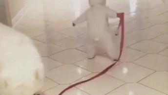 Samoieda Passeando Com Seu Pequeno Dono, Veja Que Fofura De Vídeo!