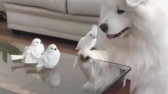 Samoiedo E Sua Amiguinha Calopsita Branca, Que Dois Amiguinhos Lindos!