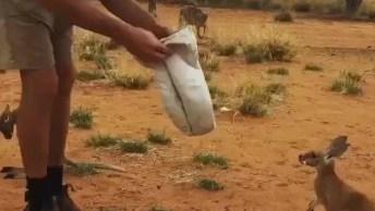 Santuário Dos Cangurus Se Encontra Na Austrália! Veja Que Fofo Este Filhote!