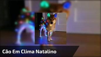 Shiba Inu Em Clima De Natal, Olha Só Que Coisa Mais Linda!