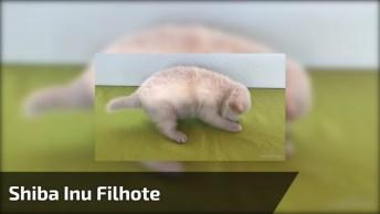Shiba Inu Filhote - Uma Raça De Cão Nativa Do Japão, Confira!