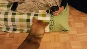 Shiba Inu Intrigado Com Secador De Cabelo, Olha Só Que Belezinha!