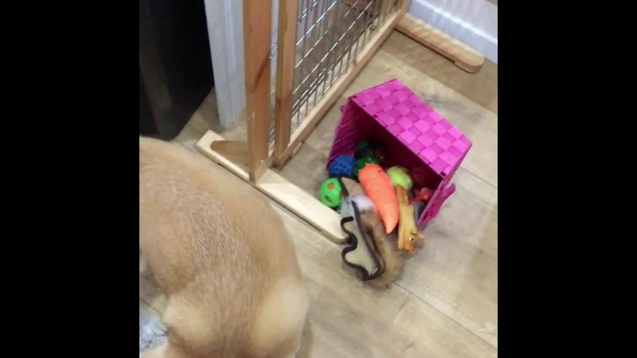Shiba inu procurando bolinha em sua caixa de brinquedos
