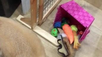 Shiba Inu Procurando Bolinha Em Sua Caixa De Brinquedos, Olha Que Esperto!