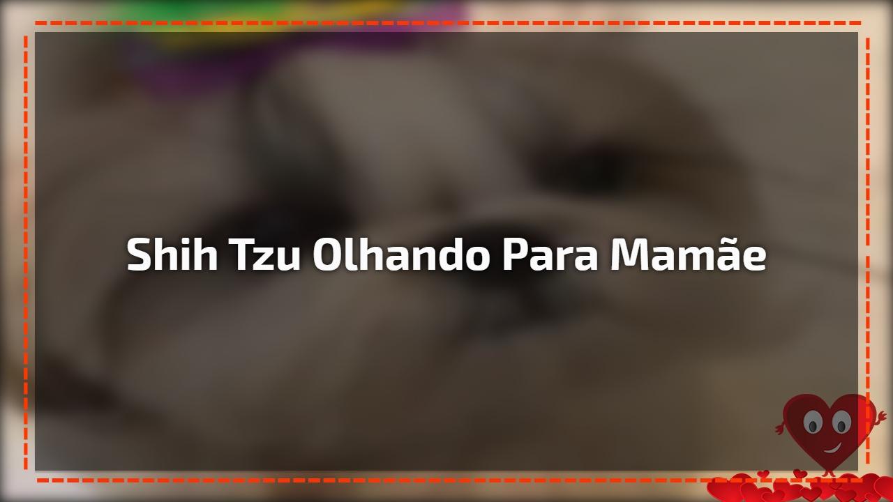 Shih Tzu olhando para mamãe