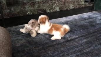 Shih Tzu - Uma Raça De Cachorro Super Alegre E Brincalhona!