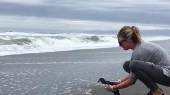 Soltando Um Filhote De Pinguim No Mar, Olha A Alegria De Voltar Para A Casa!