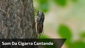 Som Da Cigarra Cantando, Um Som Mágico Que Nos Lembra Natureza!