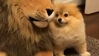 Spitz Alemão Apaixonado Por Leão De Pelúcia, Olha Só Que Amor!
