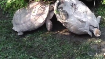 Tartaruga Ajudando A Outra A Desvirar-Se, Olha Só Que Fantástico!