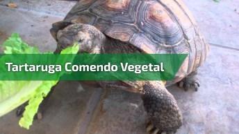 Tartaruga Comendo Vegetal, Confira Esta Amiguinha Linda Comendo!