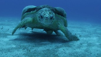 Tartaruga Marinha Nadando No Fundo Do Mar, Olha Só Que Animal Impressionante!