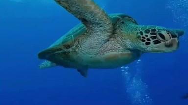 Tartaruga Marinha Nadando Tranquilamente, Que Animal Encantador!